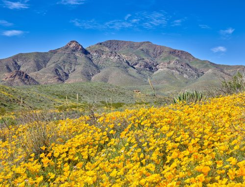 New in the El Paso Stock Photo Library – Poppies in Northeast El Paso