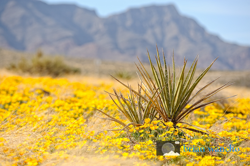 Desert Scene featuring California Poppies